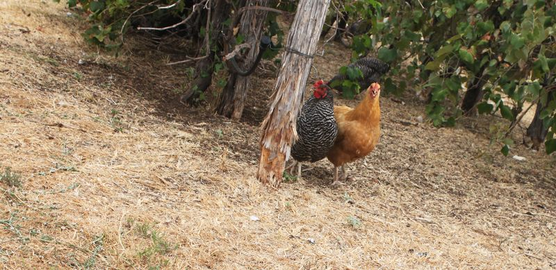 Blog_chickens_IMG_4161
