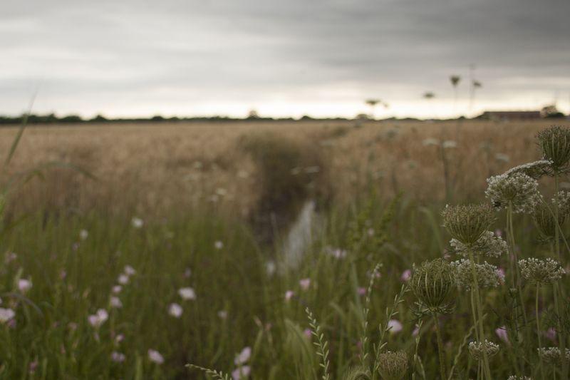 Bloom_cloudy_fieldIMG_2034